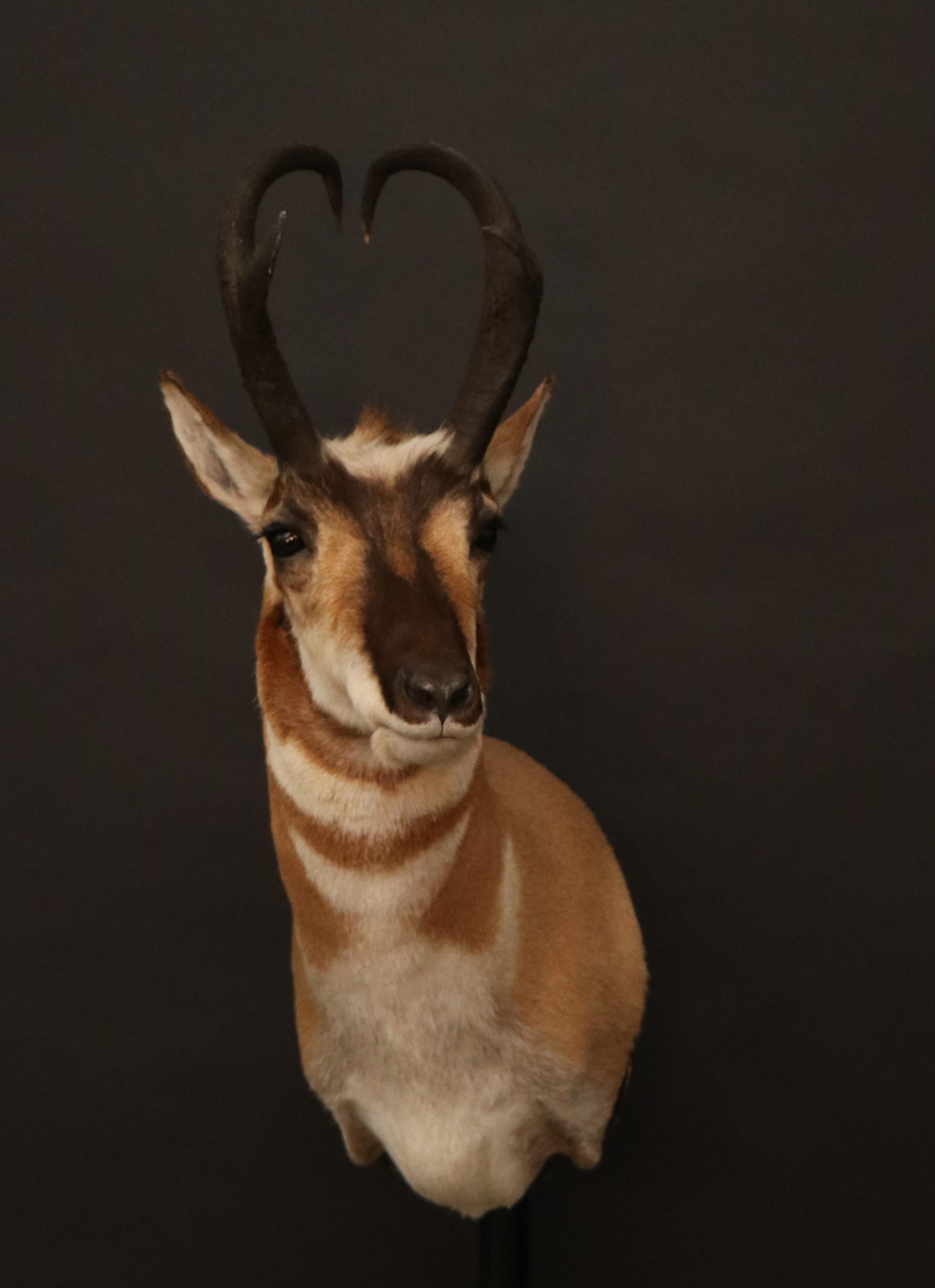 Antelope 9