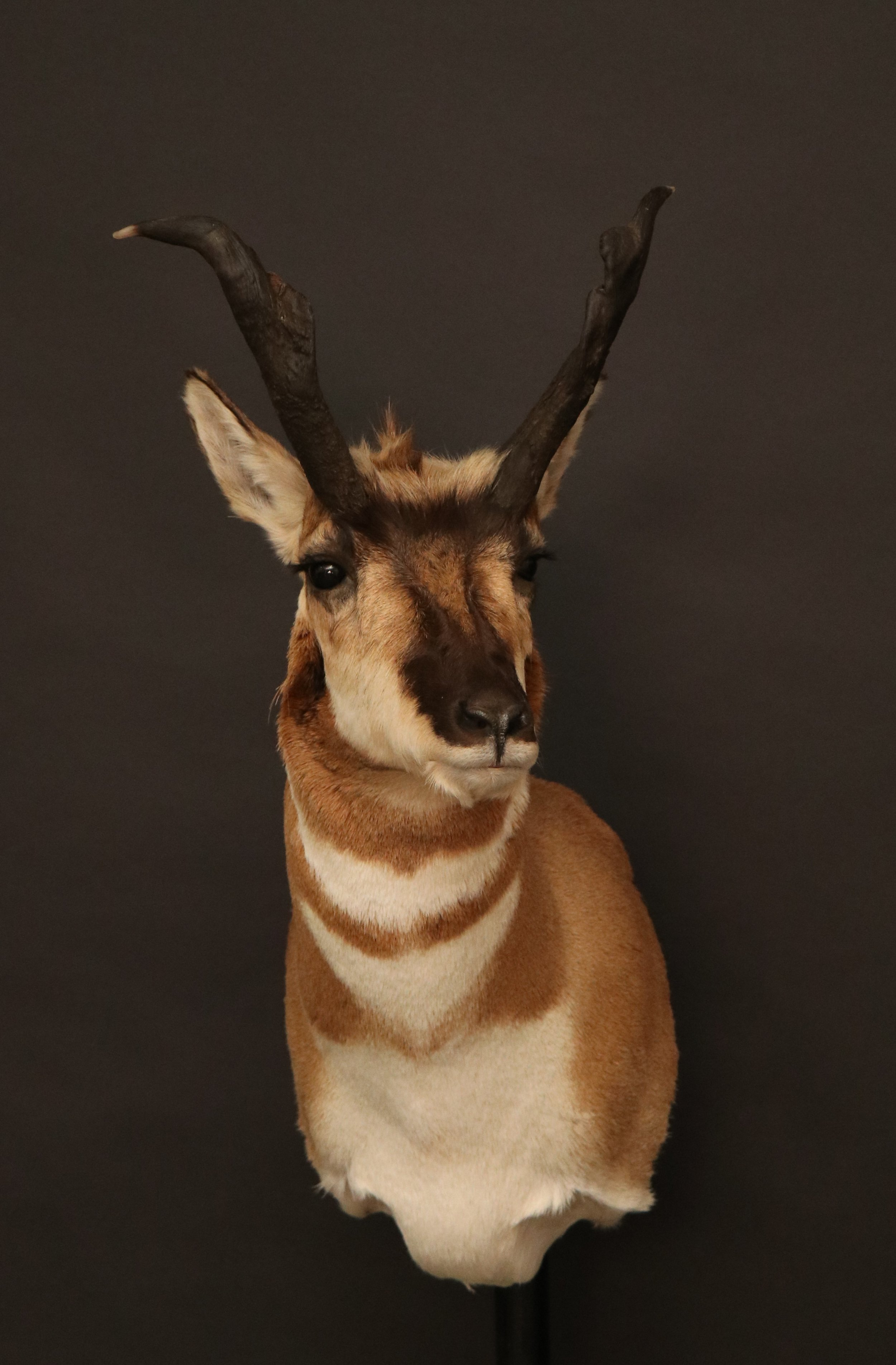 Antelope 10
