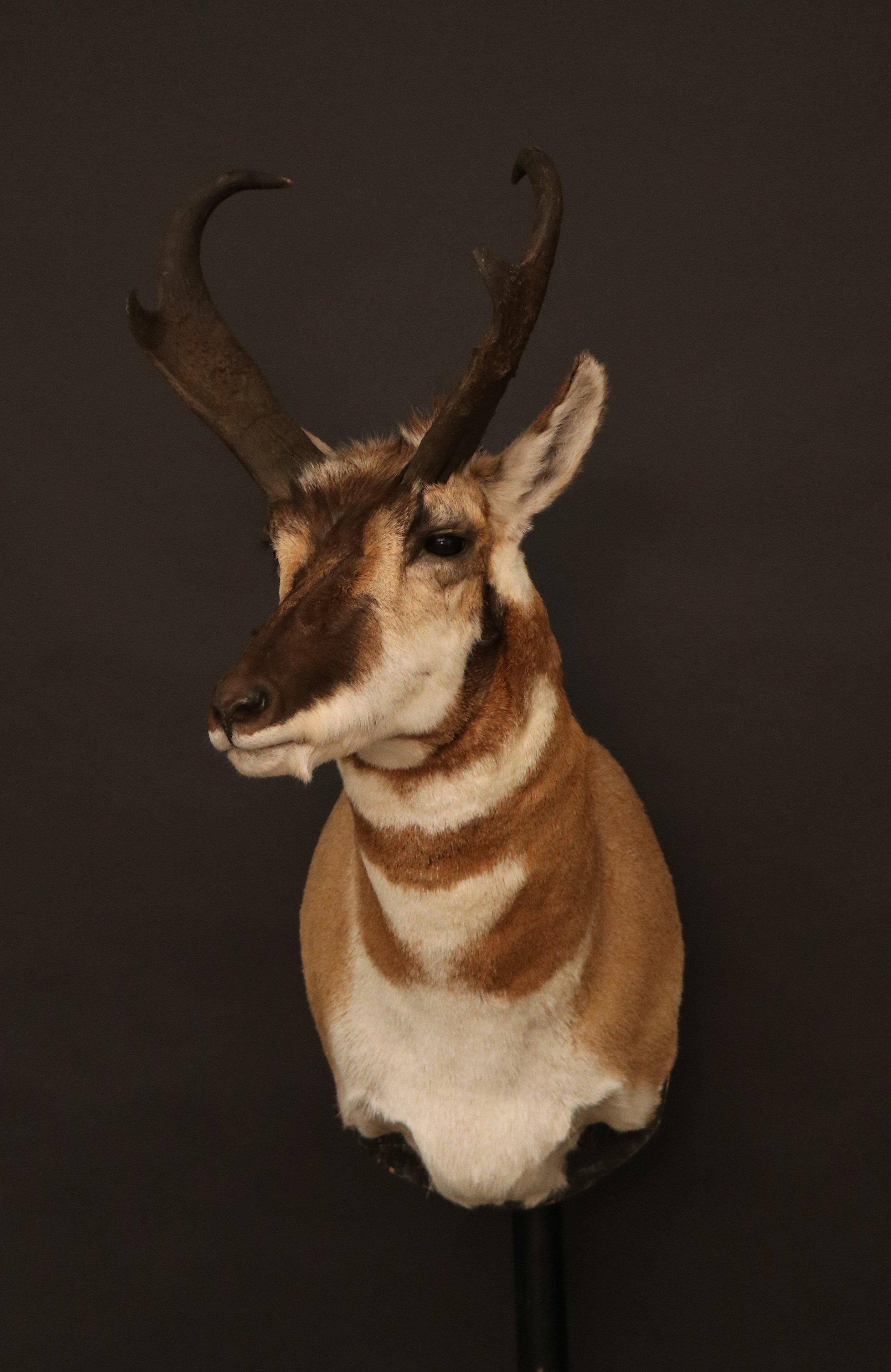Antelope 12