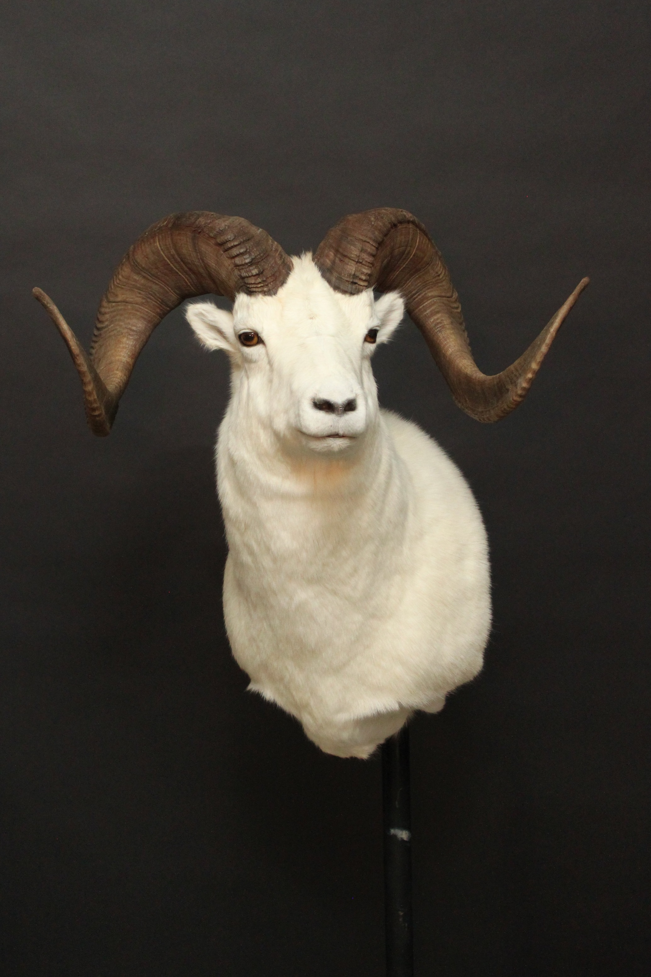 Dahl Sheep 2