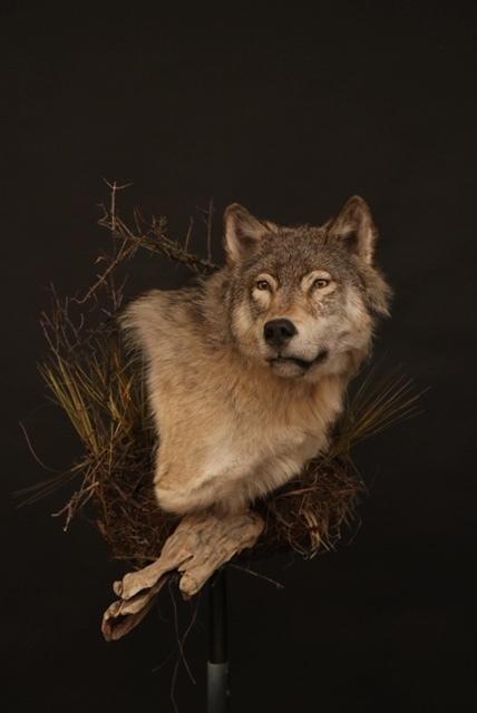 Wolf 13  Wall Pedestal
