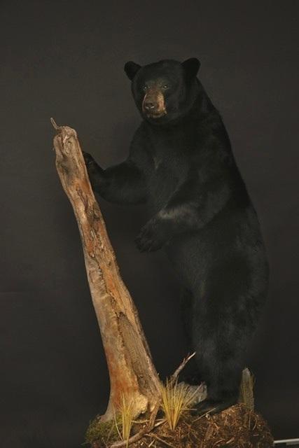 LF Black Bear 34