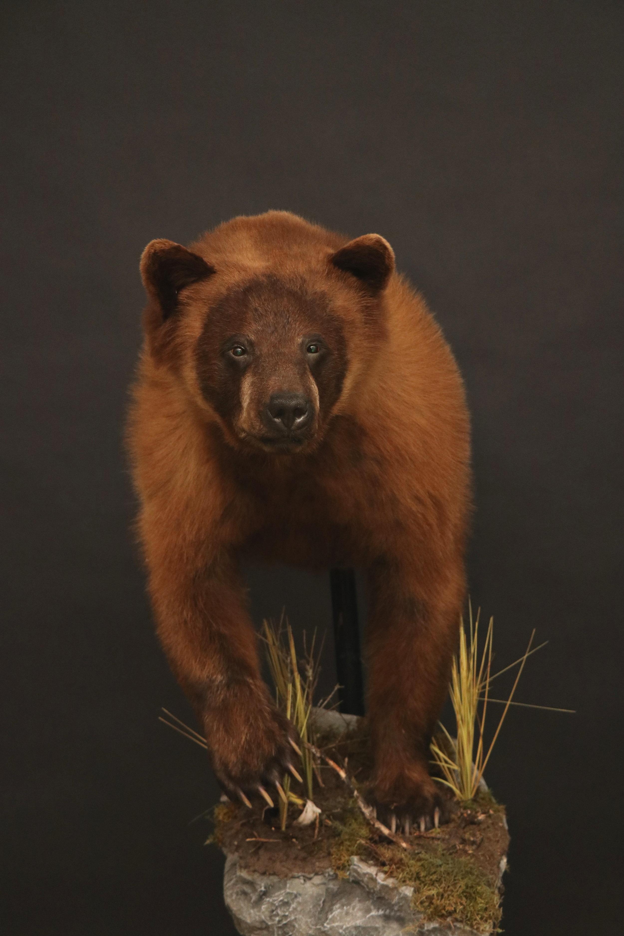 Half Black Bear 8