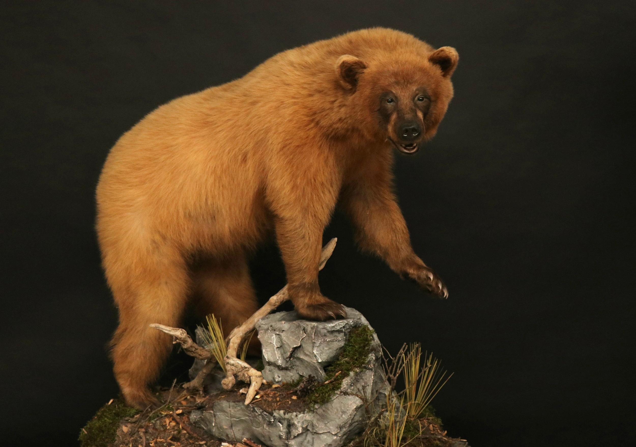 Lifesize Black Bear (30)