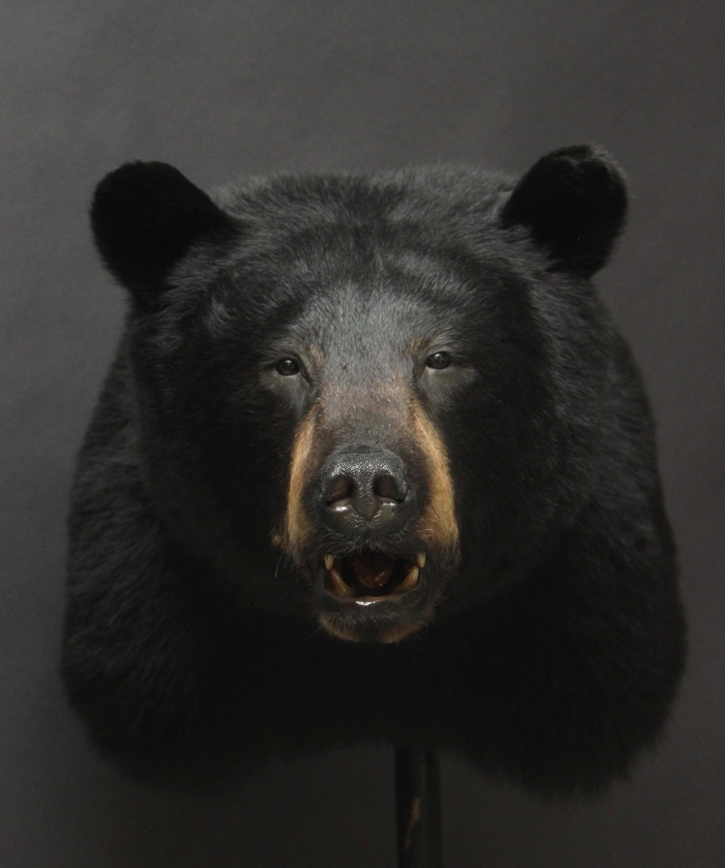 Shouldermount  Black Bear (1)