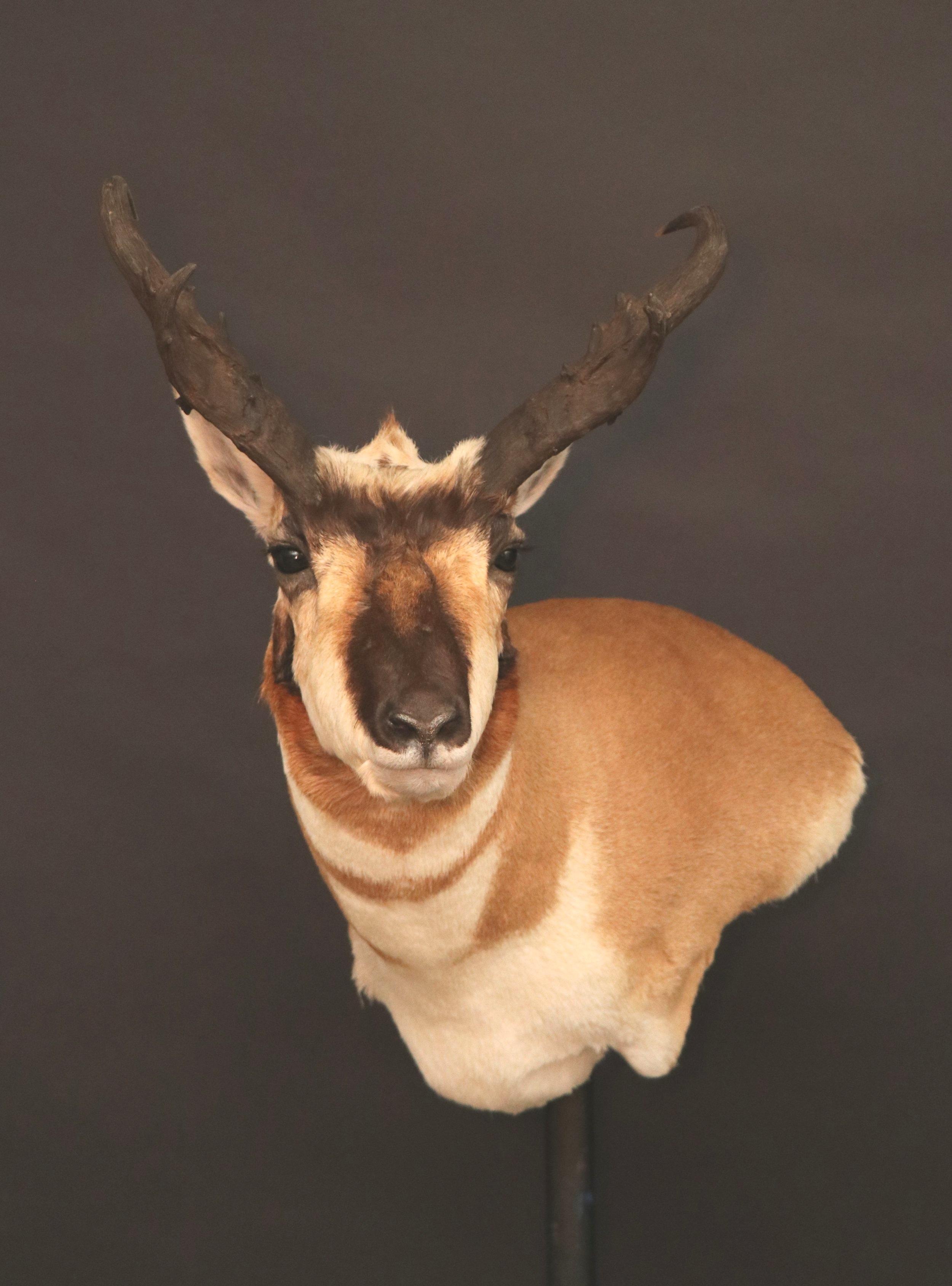 Antelope 14