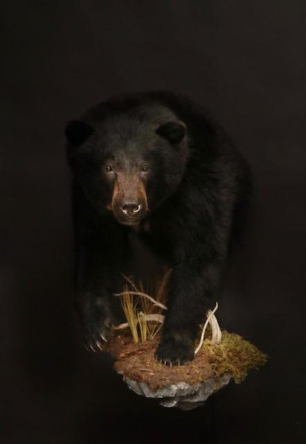 Half Black Bear 9