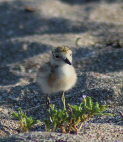 NZ Dotterel  (Photograph by Emma Waterhouse)
