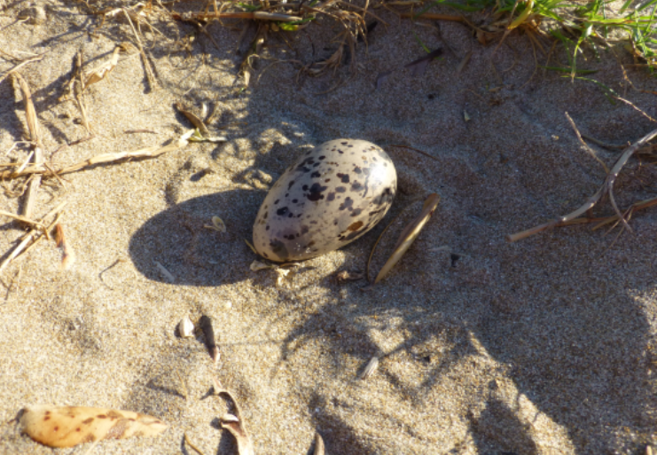 Variable Oyster Catcher egg  (Photograph by Emmy Pratt)