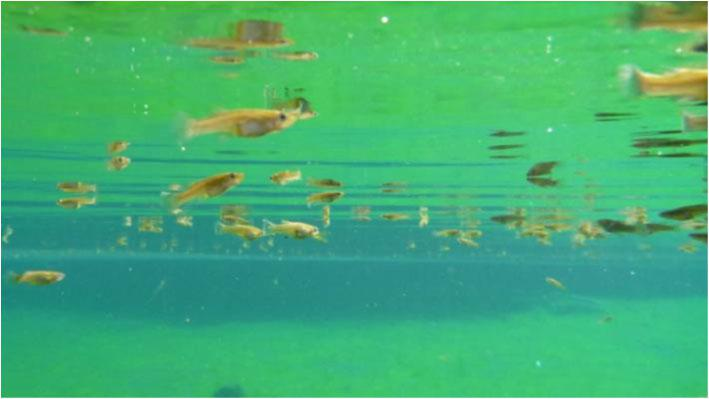 Mosquitofish feeding at the surface of a pond. (Photo: K. Simon)