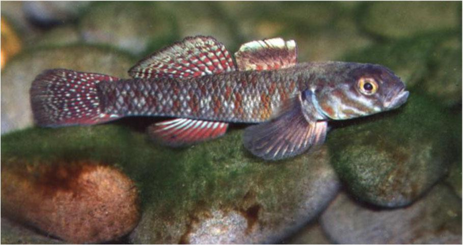 Redfin bully, one of New Zealand's most colourful freshwater fish. Spawning takes place in fresh water and after hatching the larvae are swept out to sea. Juveniles enter fresh water in spring and reach maturity about two years later.