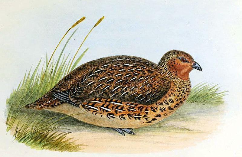 Koreke/NZ quail (Coturnix novaezelandiae) was recorded on Aotea in 1868. Only a few years later the species was extinct. (Lithographic plate by CJ Hullmandel)