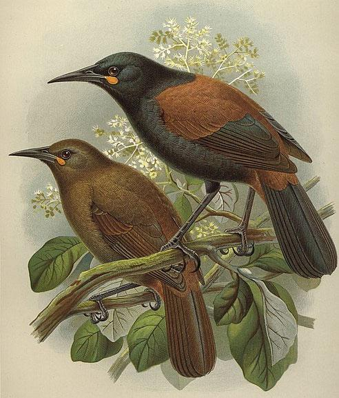Saddleback/Ƥeke (Philesturnus rufusater) was once on Aotea but cannot coexist with rats. (Lithographic plate by JG Keulemans, Buller's A history of the birds of New Zealand, 2nd ed, 1888)