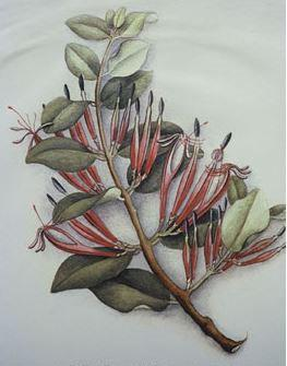 Adam's mistletoe ‐ this is the only image of the plant, painted by Fanny Osbourne, from a piece collected near Tryphena.