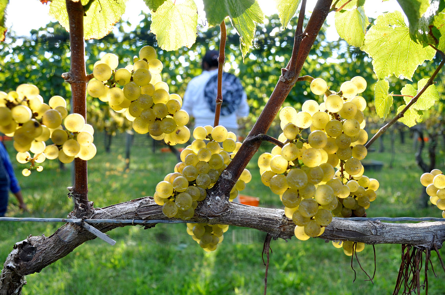 ripe Chardonnay grapes being picked