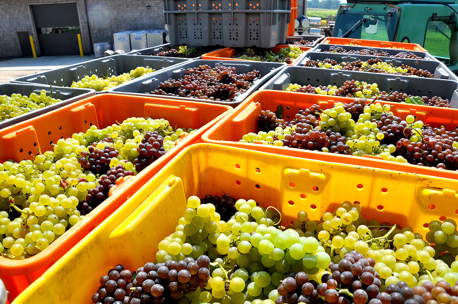 picked grapes waiting to be pressed