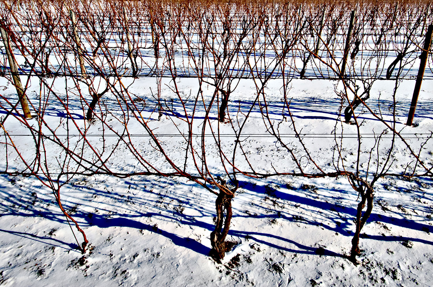 dormant vine in winter