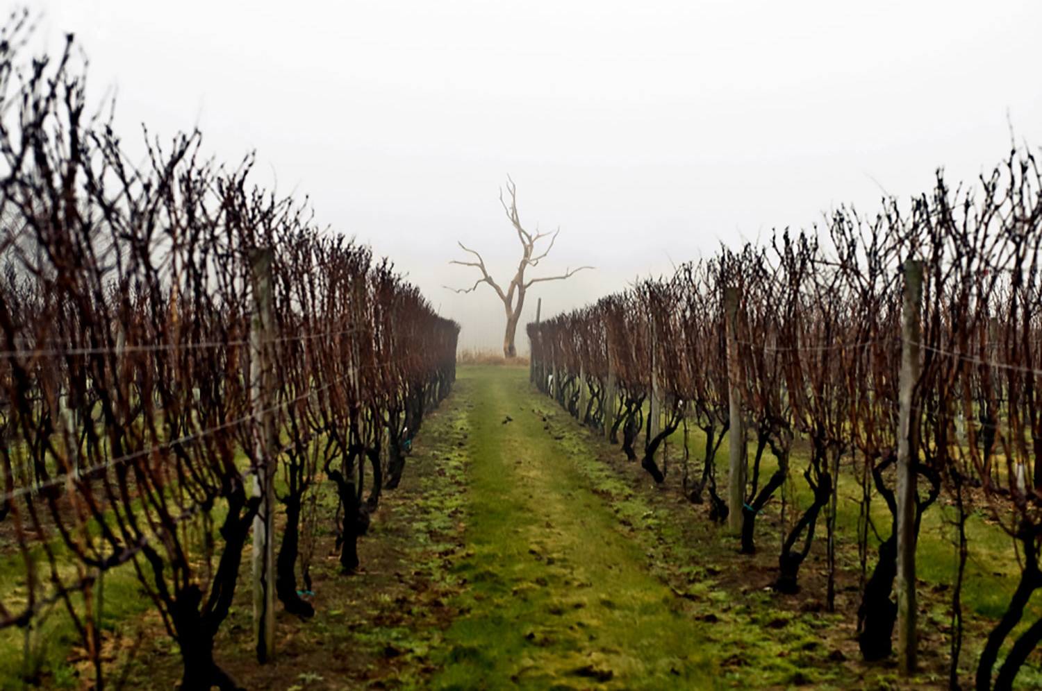dormant vine rows in fog