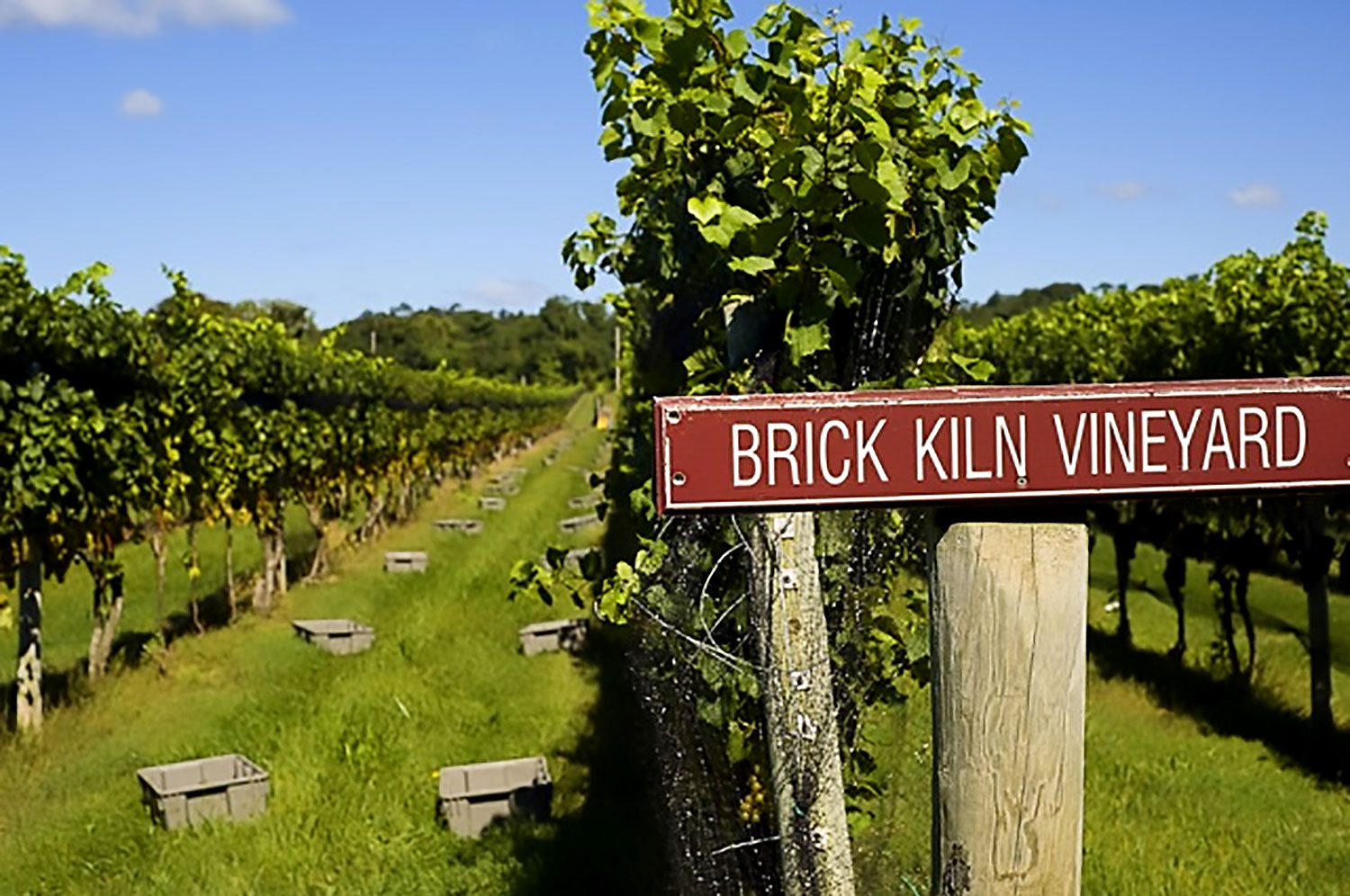 brick kiln chardonnay about to be picked