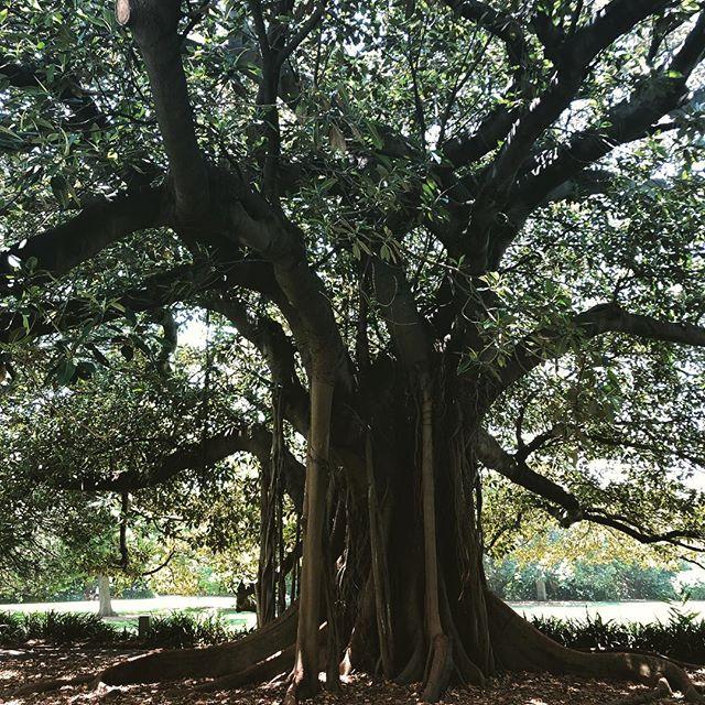 #botanicalgardens #sydneyaustralia #nature #tree #roots