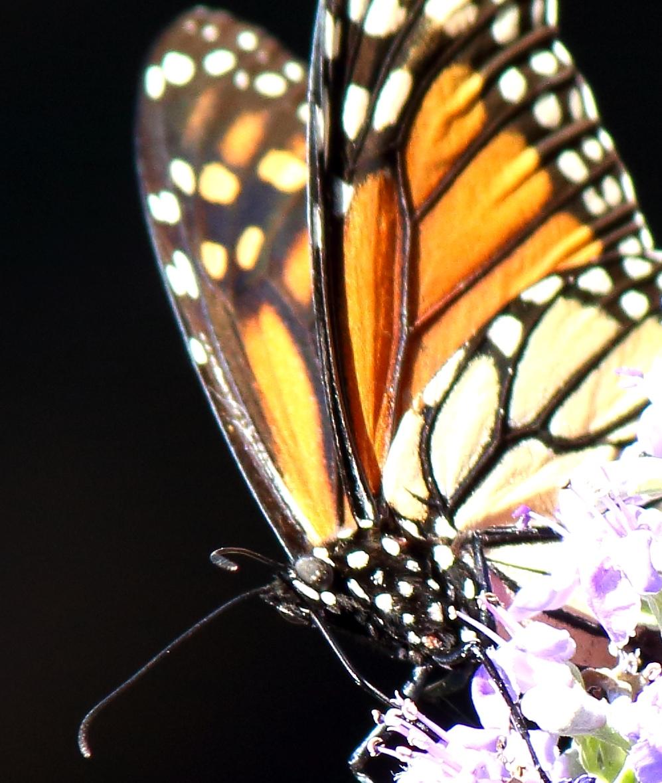 Butterfly1 - Copy.JPG