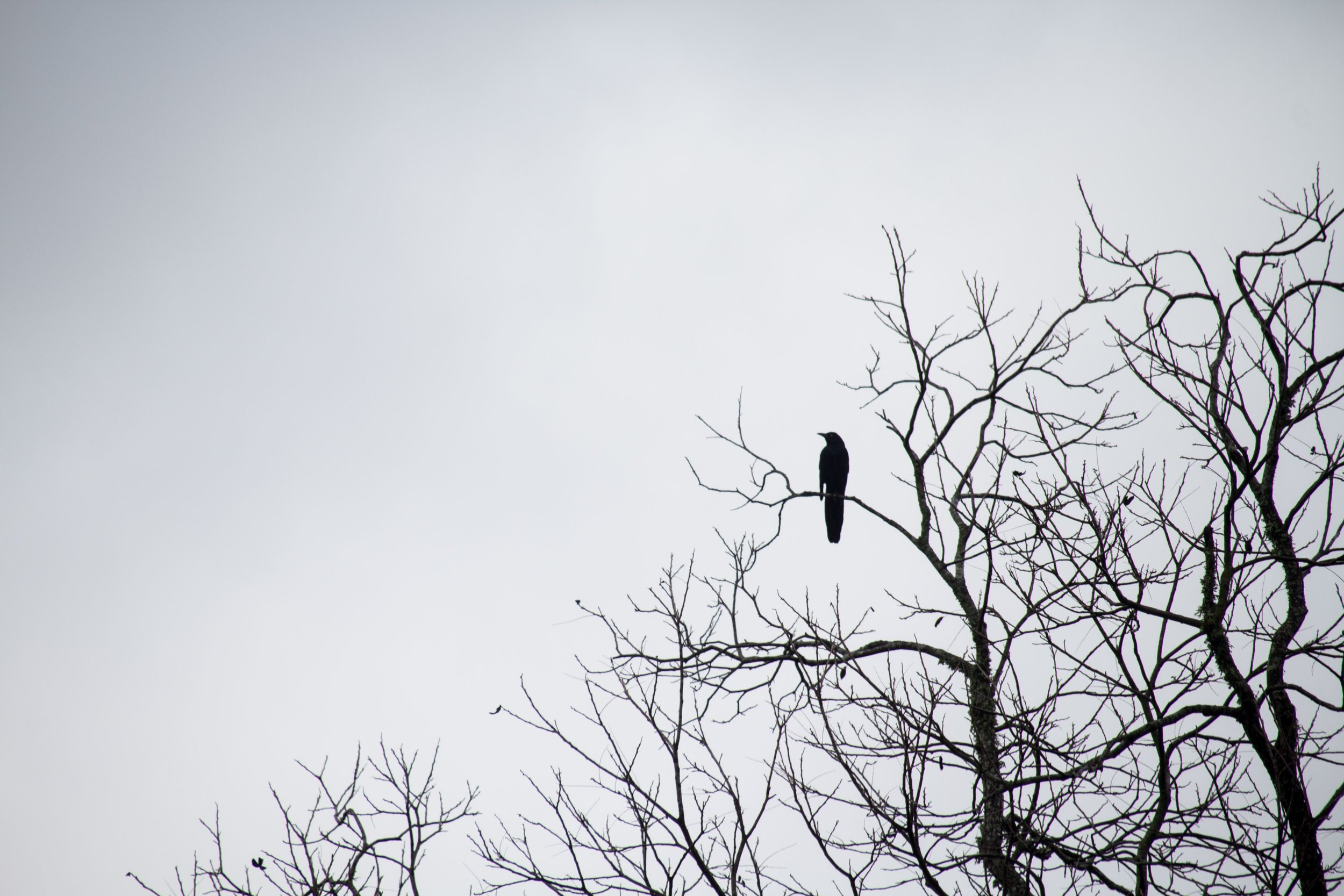 Blackbird - Copy.JPG