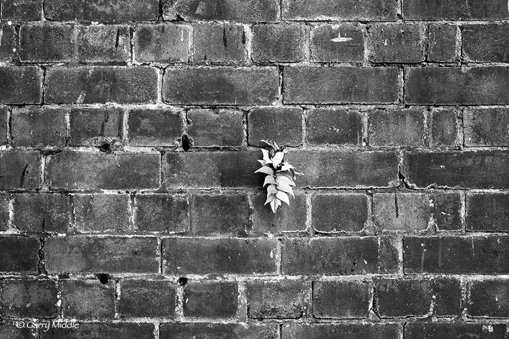 Regrowth in brick wall.jpg