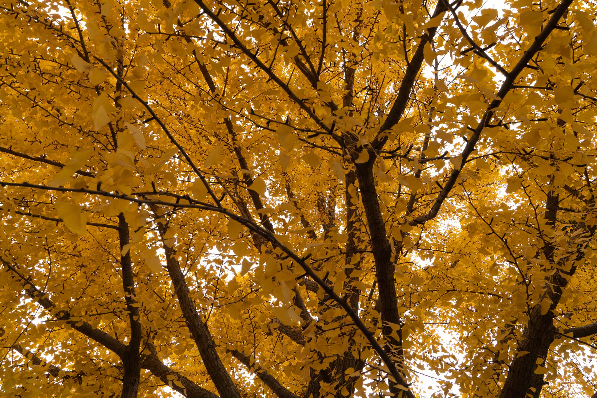 Medium_Autumn_leaves_Forbidden_City.jpg
