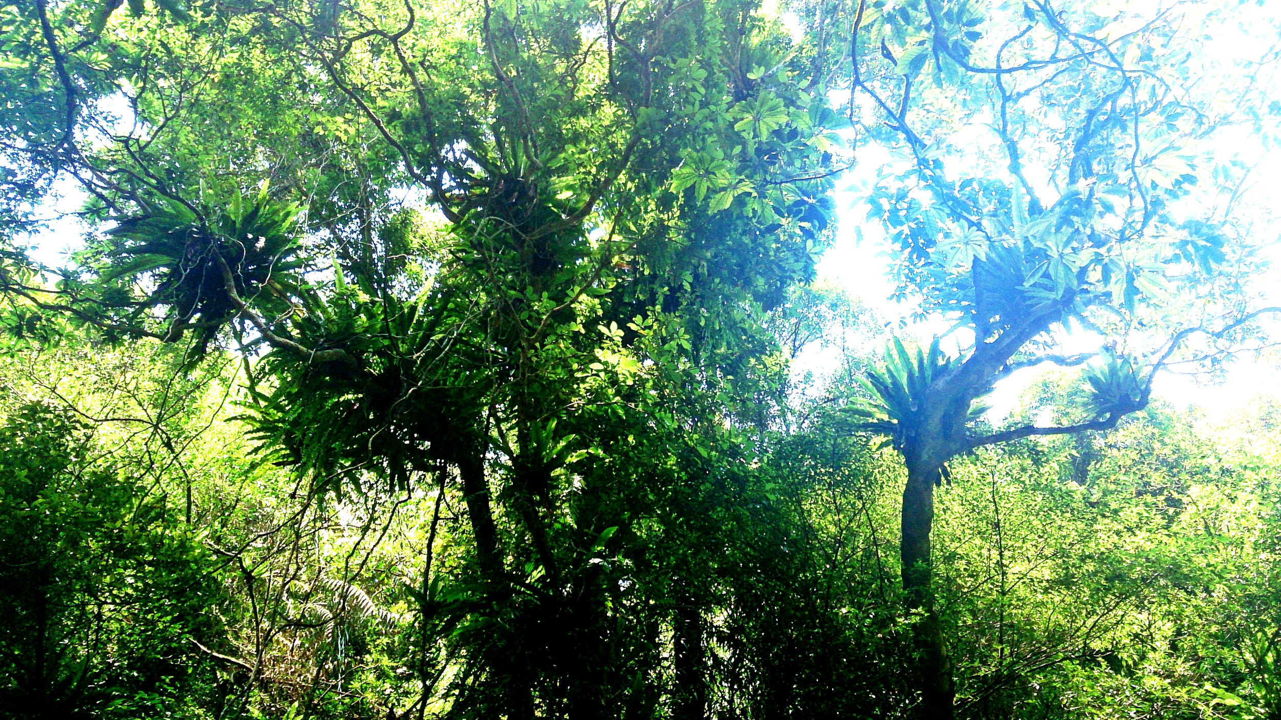 2015: A tree covered in birds-nest ferns.