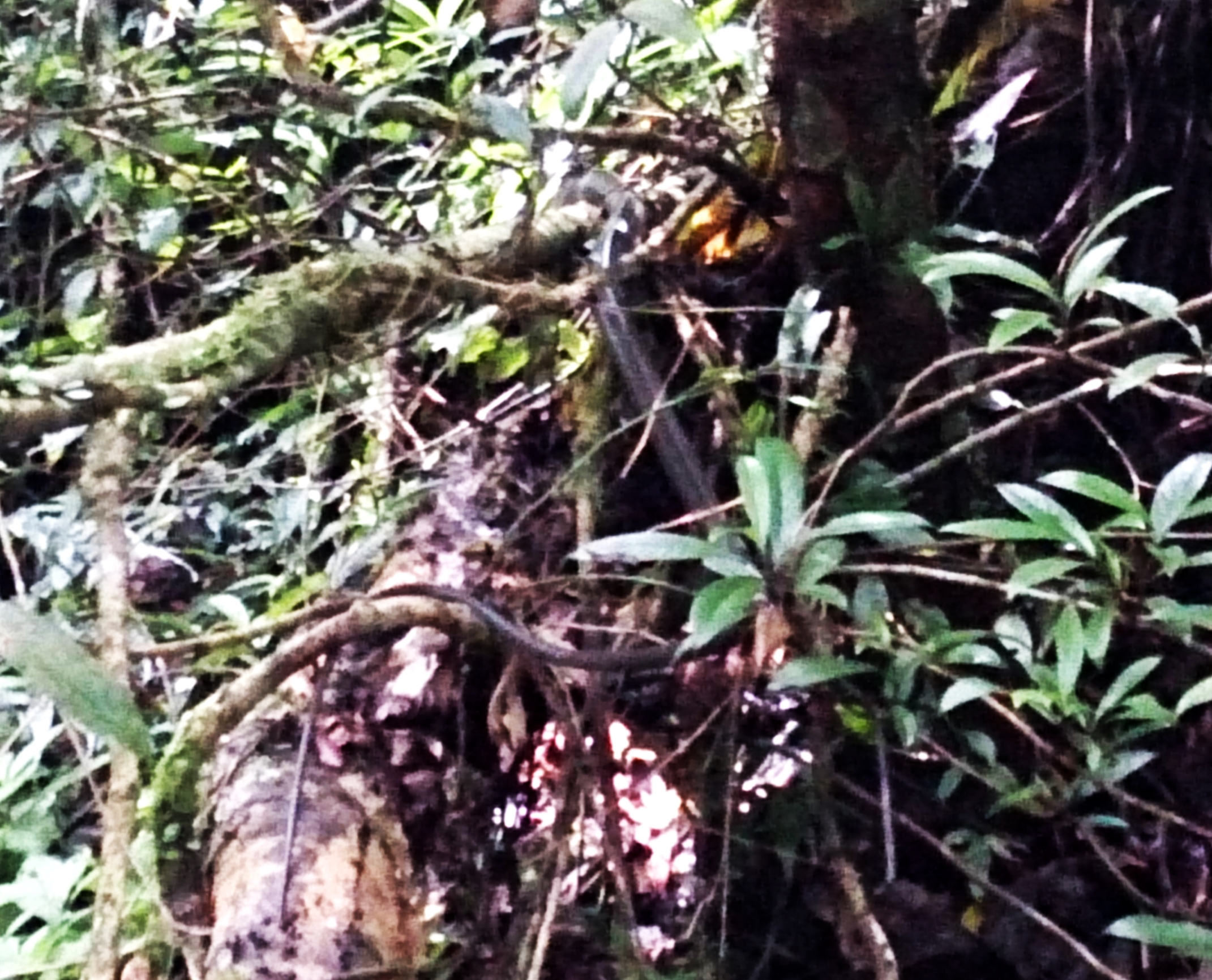 The gray thing in the centre of this terrible picture is one of the fastest snakes in Asia. It was lounging on a tree branch and stayed while I fumbled with two bags, and got my camera ready. Sadly it fled just as I was taking the picture.