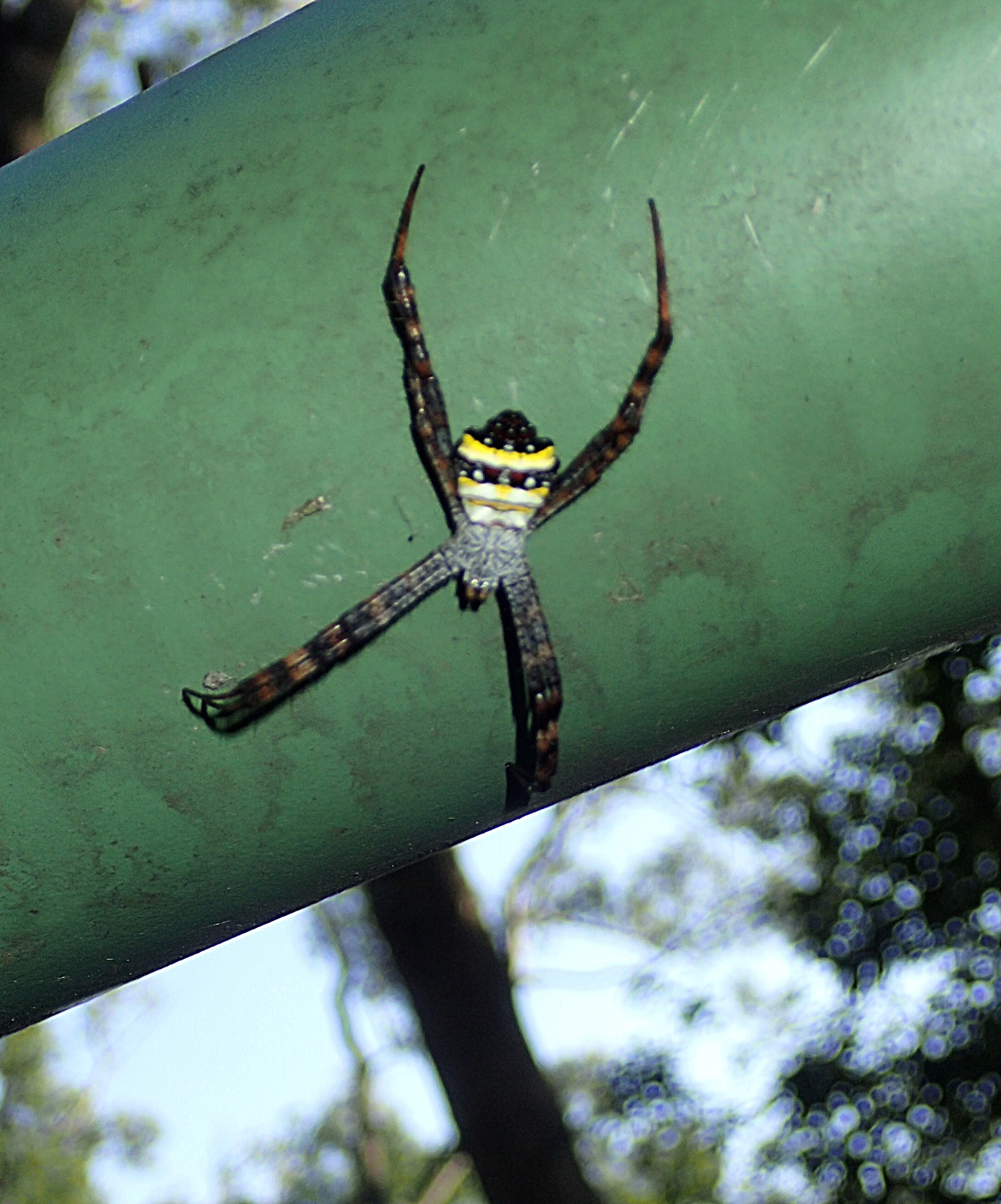 A St Andrew's Cross spider in Erziping