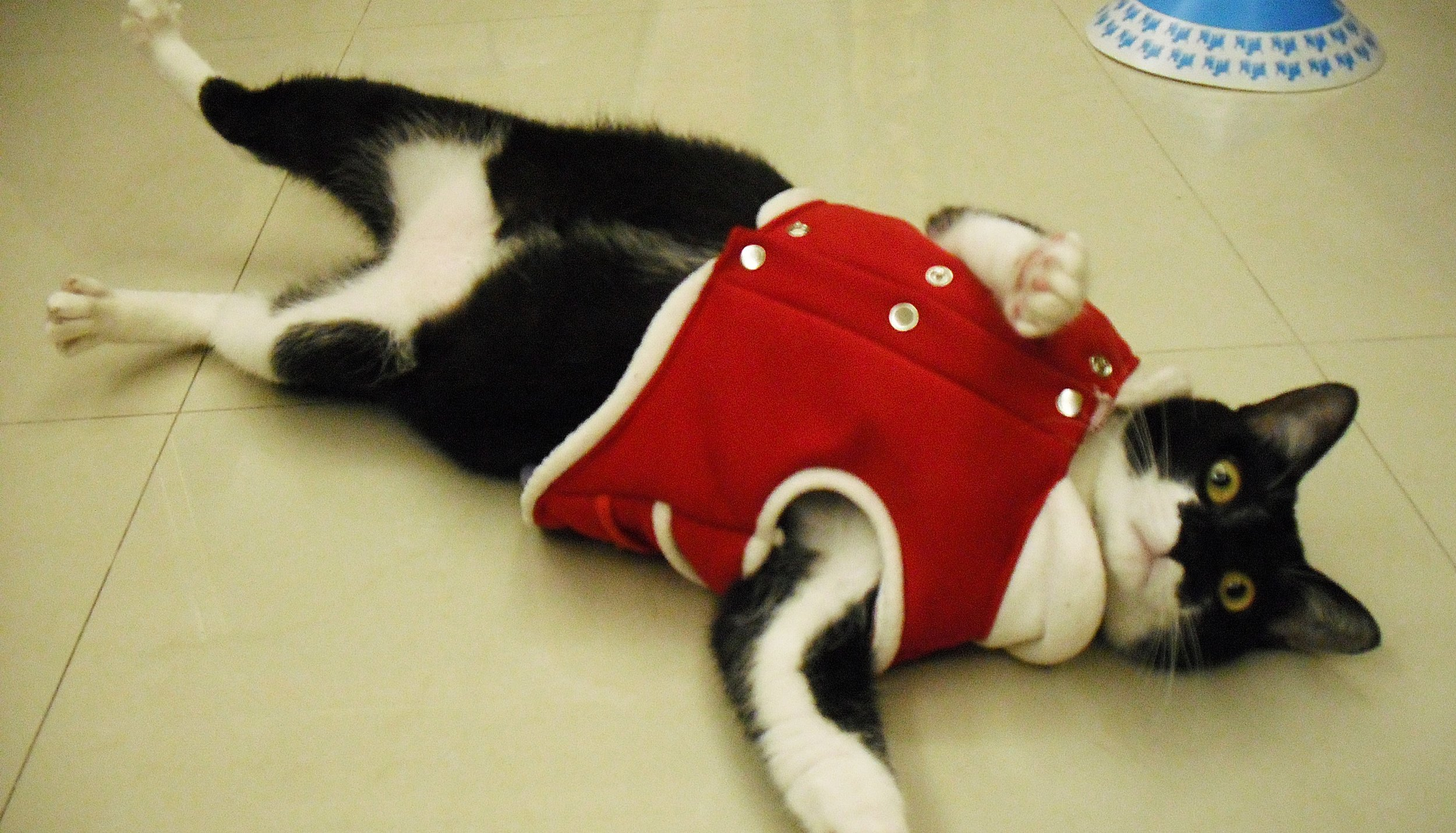 Ok I don't have many actual Houtong cat photos so this is Xiaomao, a cat I used to live with, in his Christmas outfit.