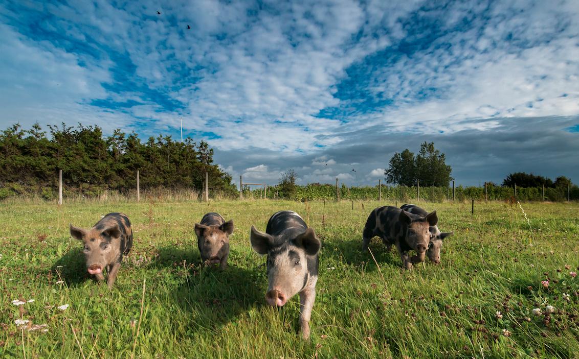 Våra Linderödssvin som hjälpt till med markbearbetning på delar av nyplanteringen.