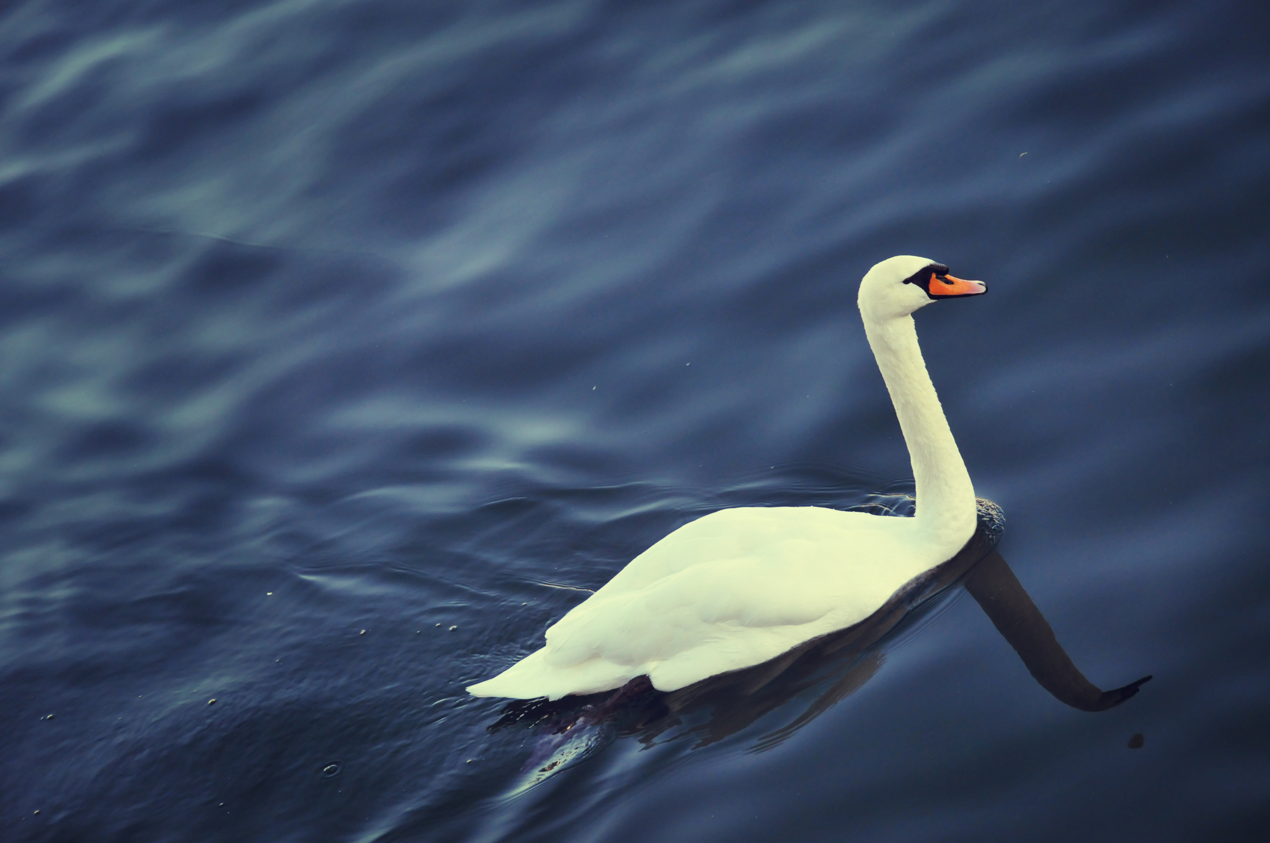 SwanHR.jpg