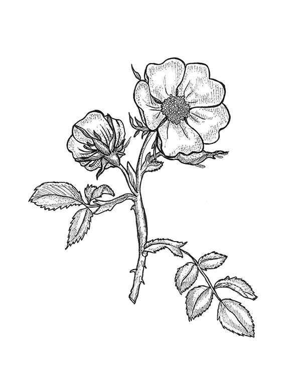 wild rose first 100dpi.jpg