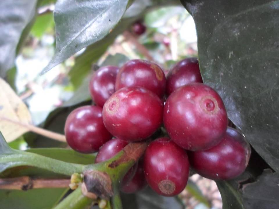 Ripe berries.jpg