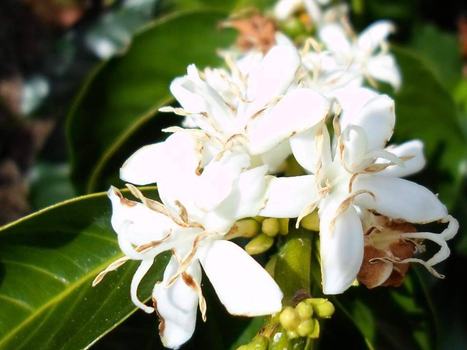 Coffee flowers.jpg