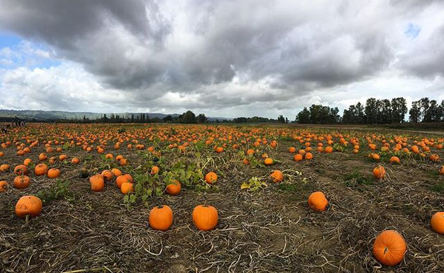 🎃 #pumpkinpatch #pumpkins #sauvieisland #october #fall #oregon #pnw #upperleftusa