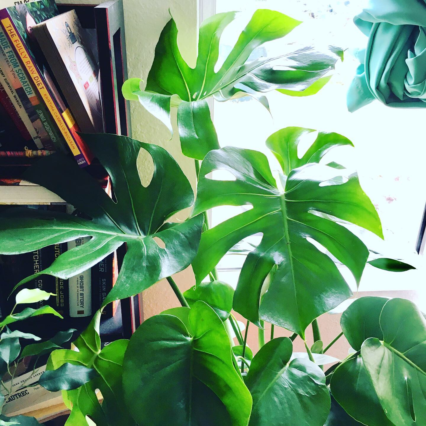 My new Monstera Deliciosa plant - I finally found you!
