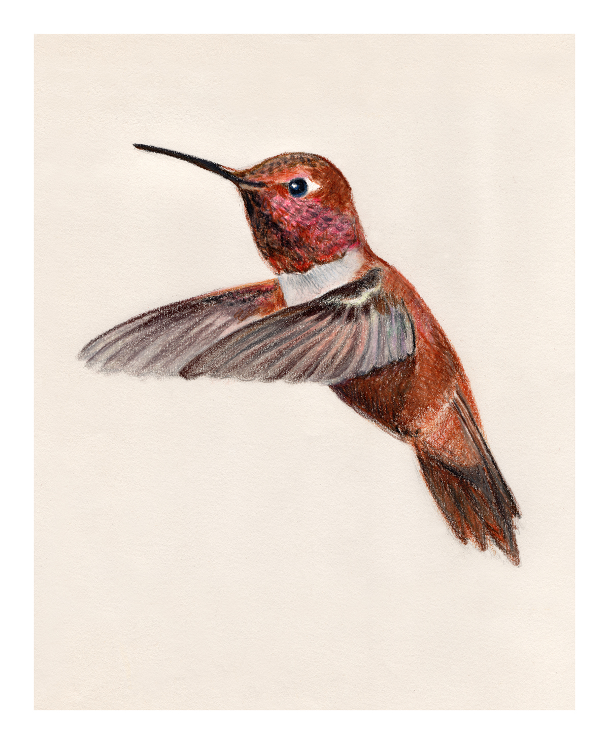 Rufous Hummingbird  closed