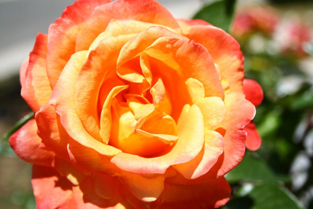 rosewater.rose.JPG