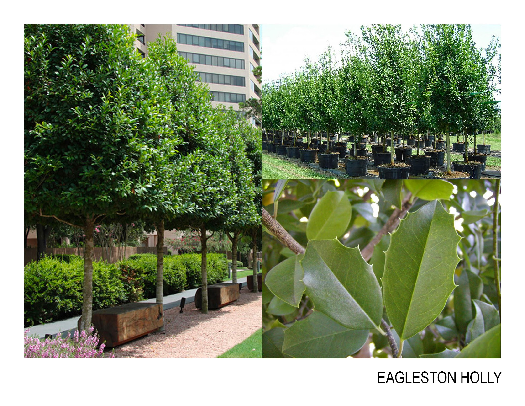 eagleston holly.jpg
