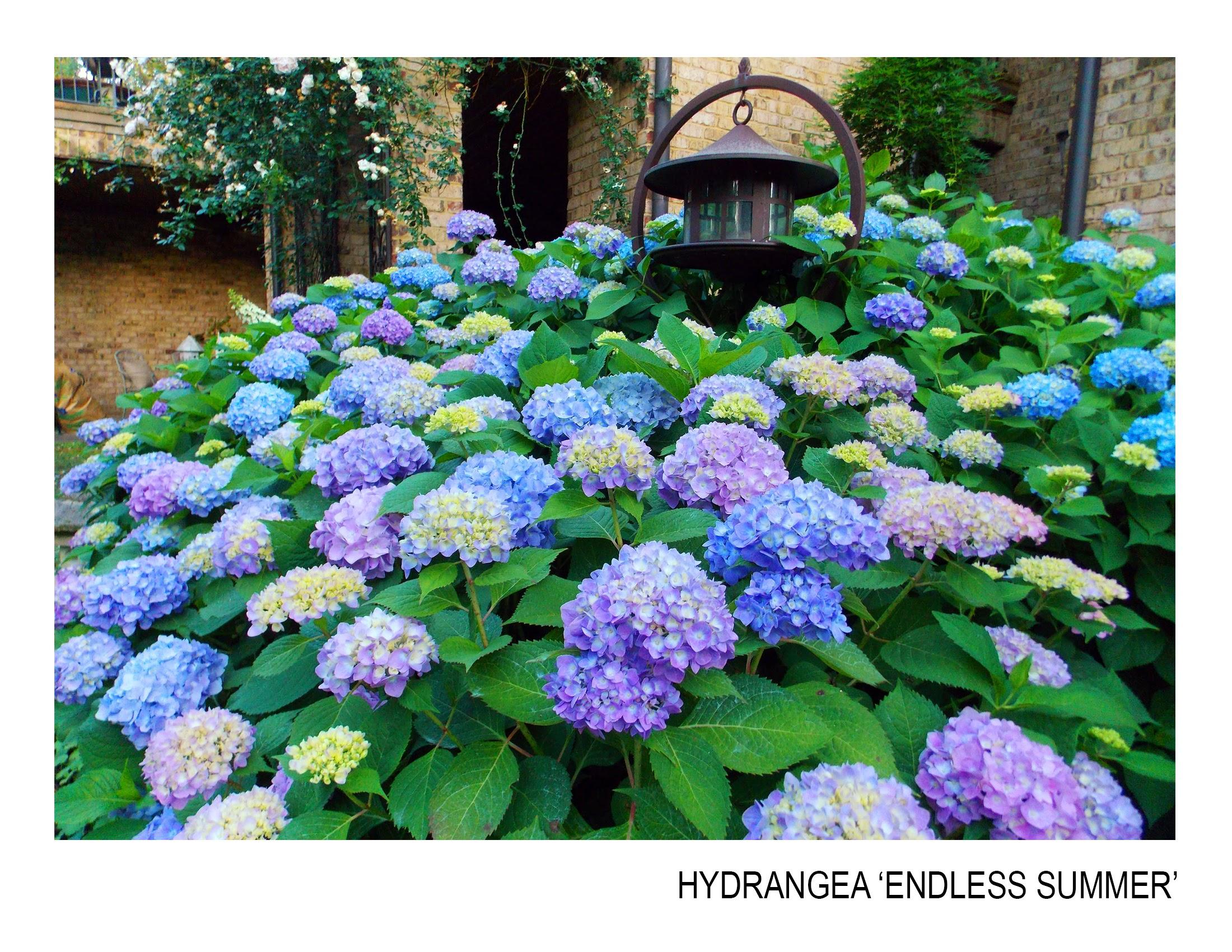 hydrangea-endless summer.jpg