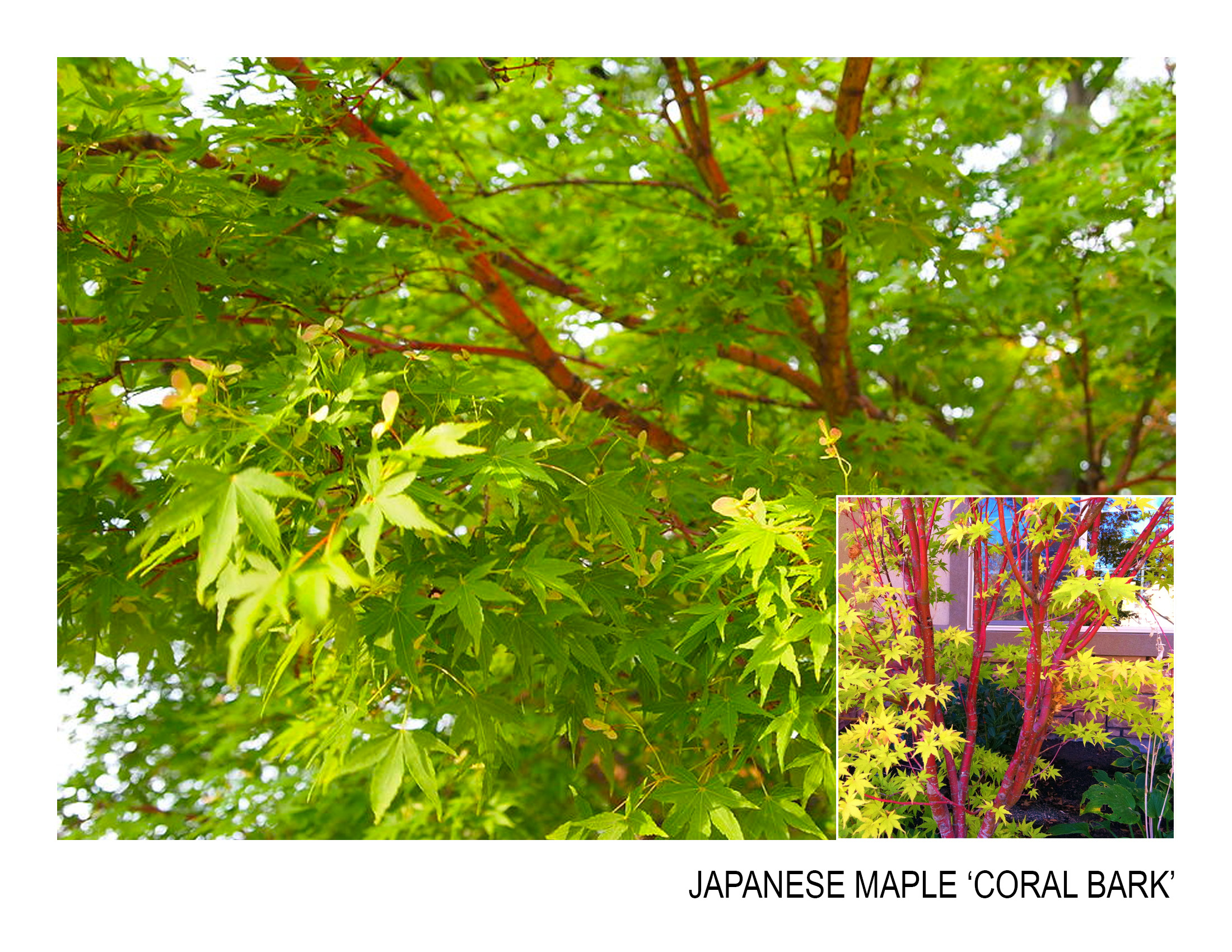 japanese maple 'coral bark'.jpg