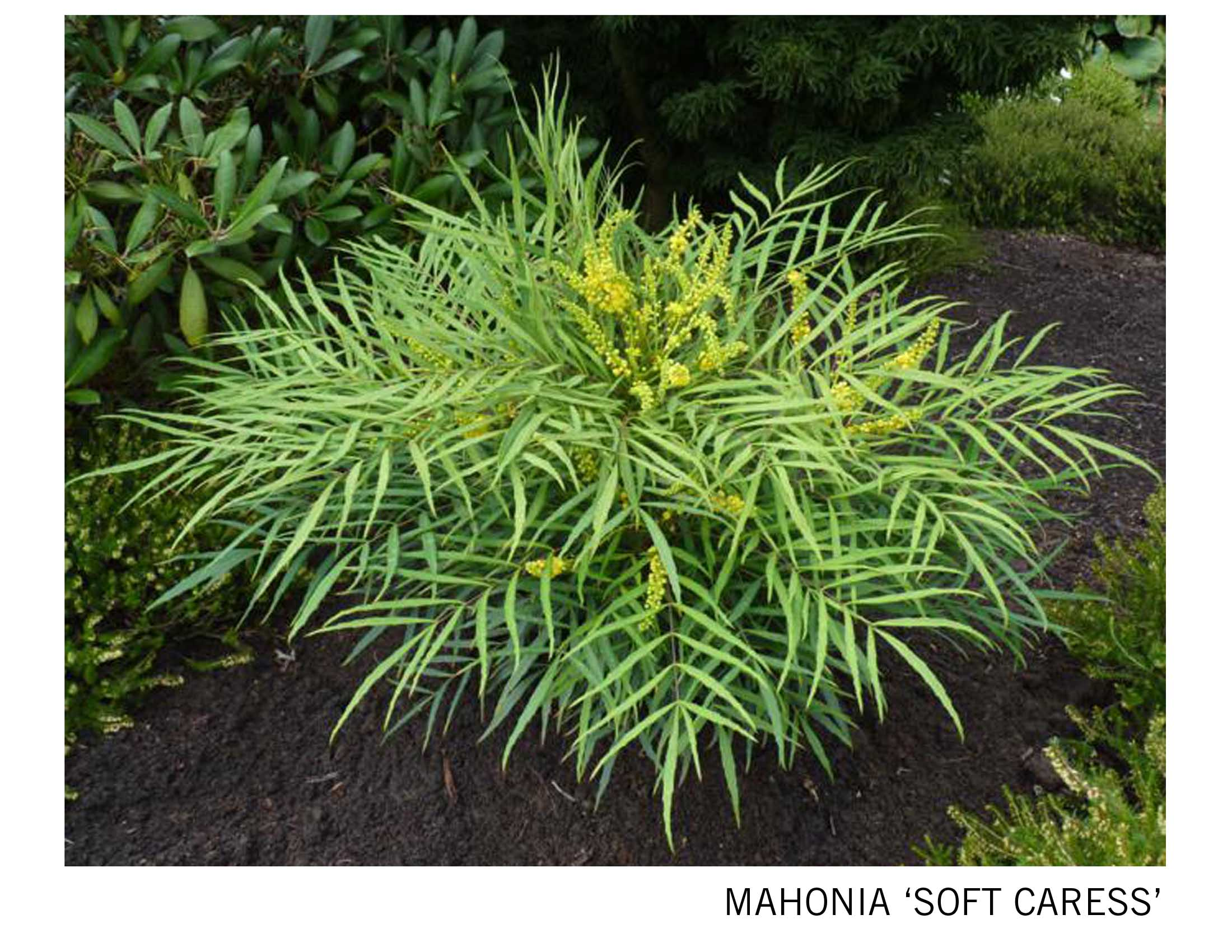 Mahonia Soft Caress.jpg