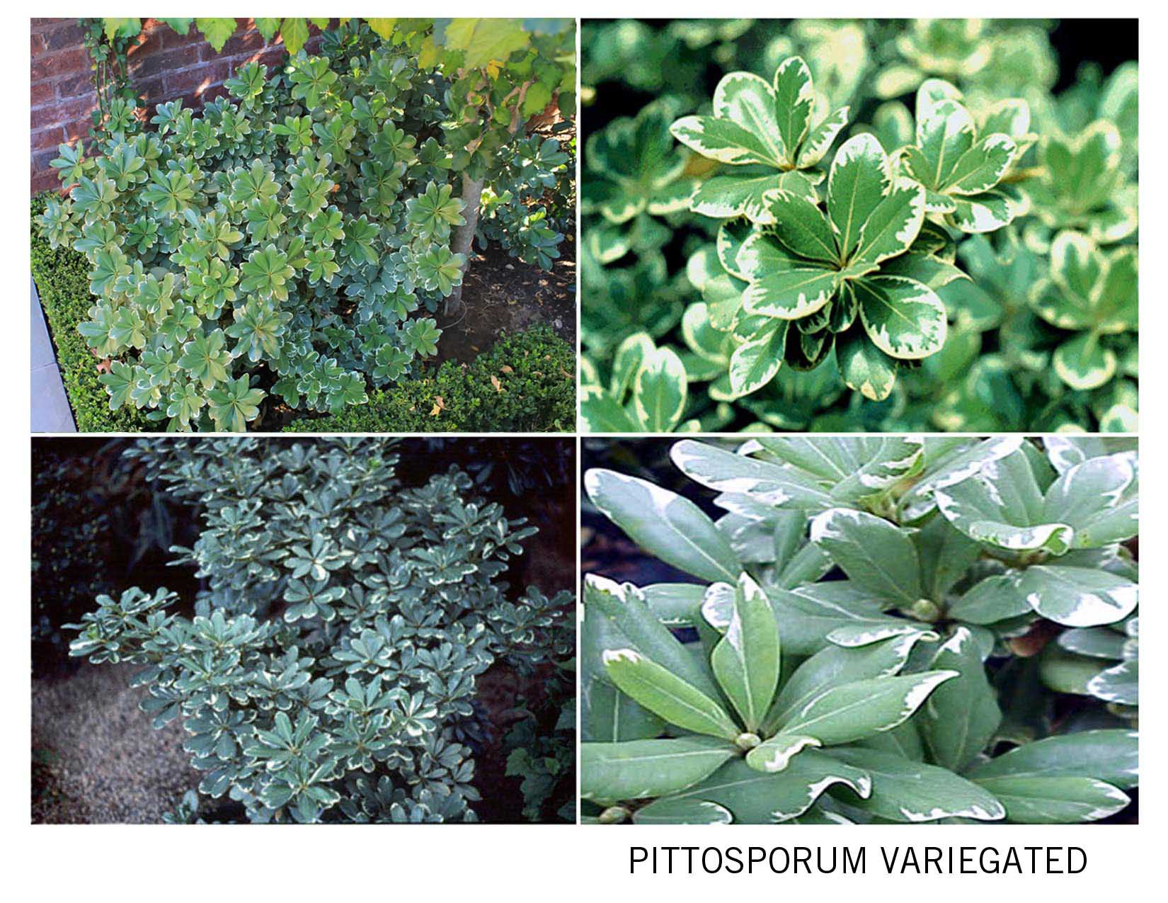 Pittosporum%2520Variegated.jpg