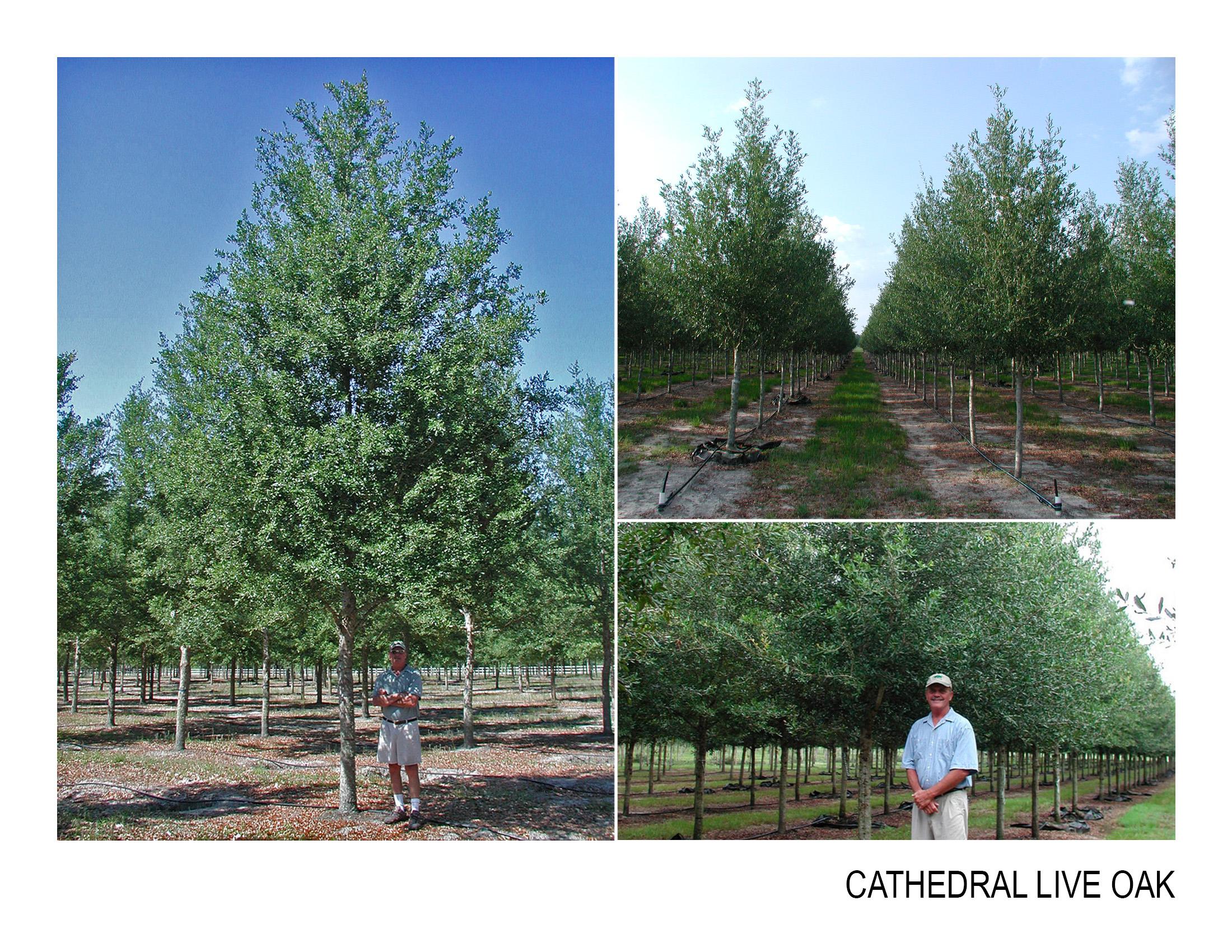 cathedral live oak.jpg