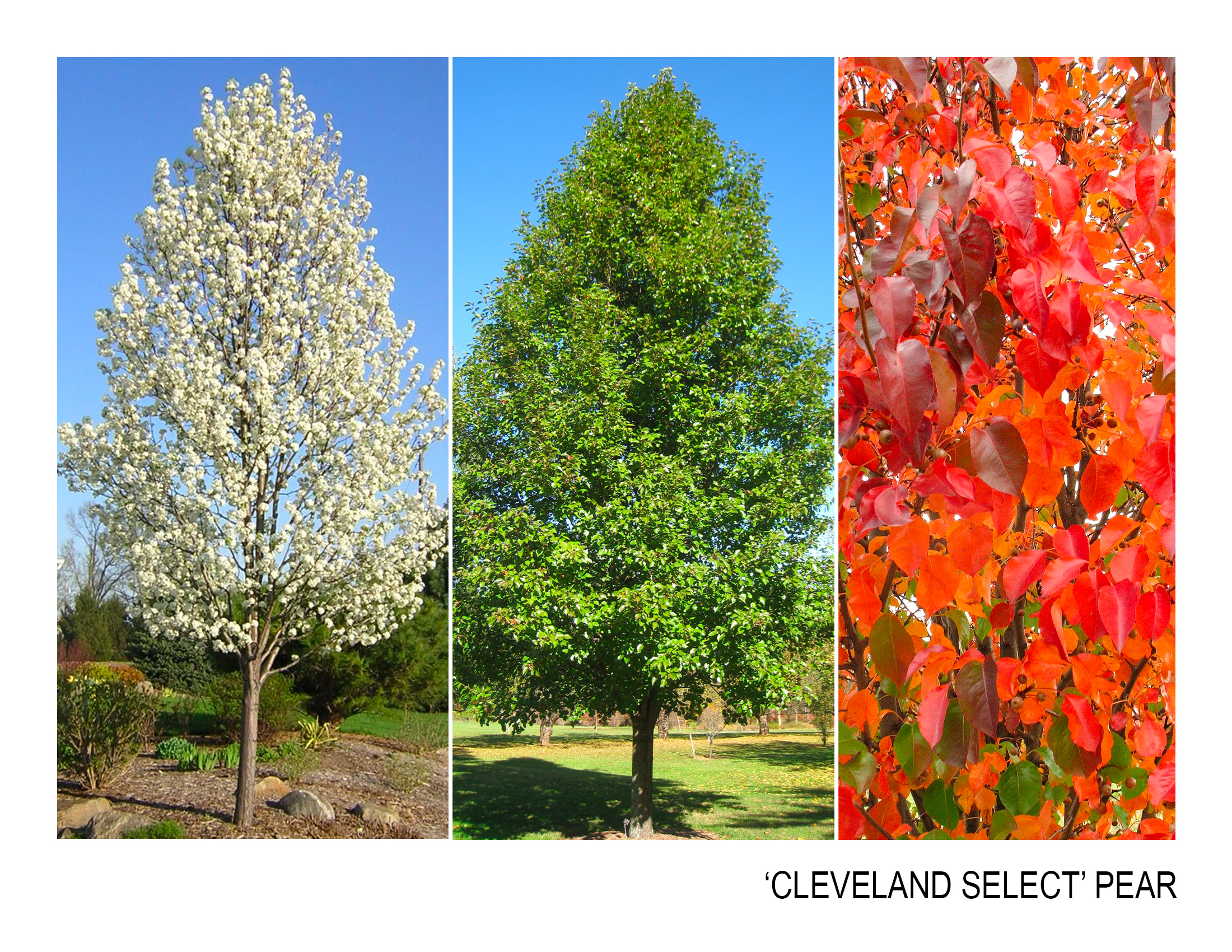 cleveland select pear.jpg