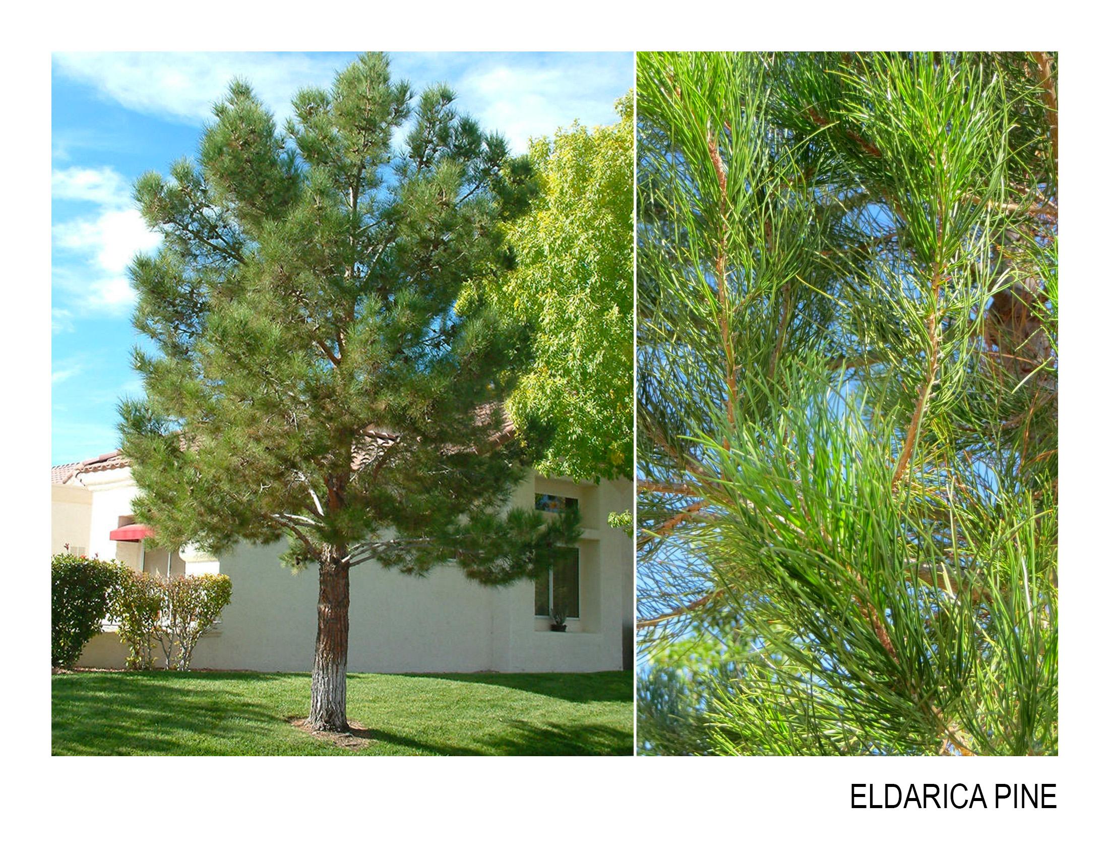 eldarica pine.jpg