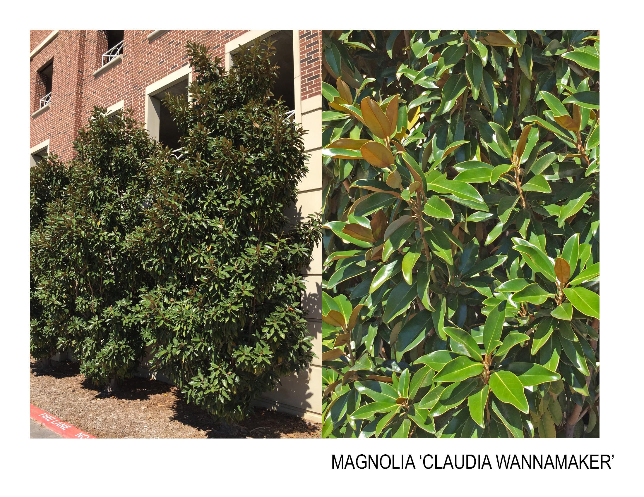 magnolia 'claudia wannamker'.jpg
